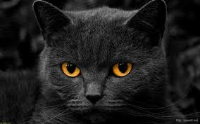 black cats with gold eyes. Perfect Gold Eyes They Donu0027t Call Any Color Orange All Thoe There Are Some That  Ceritnely Look Orange Black Cats Come With Many Of The Colors On Chart To Cats With Gold Eyes A