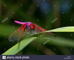 crimson marsh glider, Trithemis aurora, Mae Wong National Park Stock Photo  - Alamy