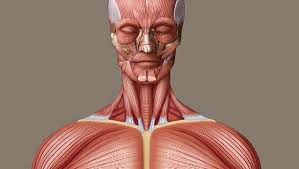 The skeletal muscles of the torso and limbs arise from the mesoderm of the somites, while those of the head arise from the the vestibulospinal and cervicospinal reflexes affect the upper limb musculature. Human Muscle System Functions Diagram Facts Britannica