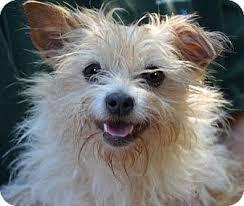 wire hair terrier mix breeds. Plain Breeds Adopted In Wire Hair Terrier Mix Breeds I