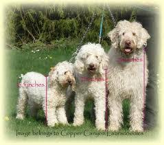 Standard Goldendoodle Size Chart Different Size Comparisons Of The Labradoodles Labradoodle