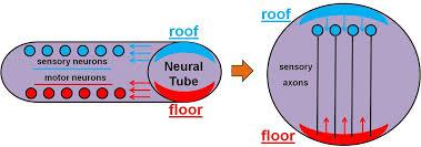 neuron development jpg