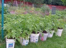 bucket gardening. Potato Buckets: Experimental Yields Bucket Gardening 7