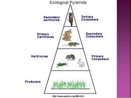 food web pyramid food web pyramid rome fontanacountryinn com