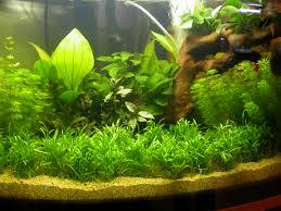 Club acquariologico erpetologico barese :: le piante in acquario