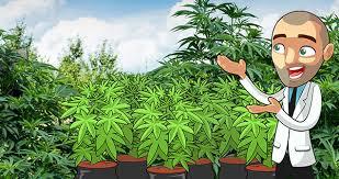 Cannabis Plant Growth Chart Vegetative Stage For Marijuana Plants I Love Growing Marijuana