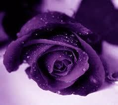 purple rose wallpaper download.  Rose Cardinal Purple Rose To Purple Rose Wallpaper Download P