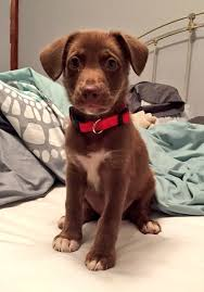 chocolate lab australian shepherd mix. Brilliant Chocolate On Petfinder He Was Listed As An Australian Shepherd Mix And His Papers  From The Vet List Breed Lab The Foster Home With  Chocolate Lab Mix