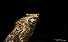 We have a great selection of black wallpapers and black background images for mac os computers, macbooks and windows computers. Hd Wallpaper Brown And Black Cheetah Look Predator The Dark Background Wallpaper Flare