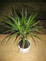 Extraordinary House Plants Toxic To Cats 59 For Home Design