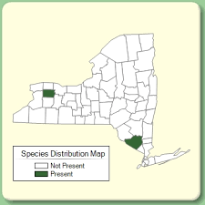 Achillea nobilis - Species Page - NYFA: New York Flora Atlas