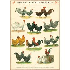 Logical Rooster Identification Chart Poultry Breeds Chart