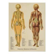 Muscle Skeleton Skeletal Anatomy Chart Female