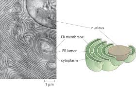 Endoplasmic Reticulum How Big Is The Endoplasmic Reticulum Of Cells