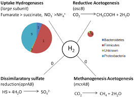 Potential Hydrogen Sinks In The Chicken Cecal Metagenome