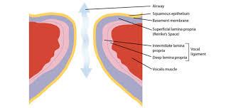 similiar vocal cords diagram keywords vocal folds diagram vocal fold layers