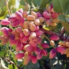 250 Pistachios Tree Seeds Turkish Genuine Pistacia Vera Antep Pistachios |  eBay