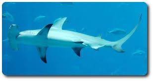 hammerhead shark habitat. Modren Hammerhead Great Hammerhead Shark And Habitat H