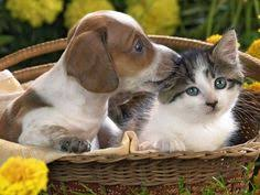 cute kittens and puppies together wallpaper.  Cute Kittens And Puppies Together Dogs Puppies Cute Cats Dogs Pet To Wallpaper