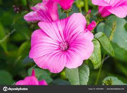 ピンクのペチュニアの夏の庭の花 ストック写真 Avdeev80 182204048