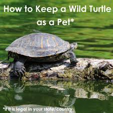 How To Keep A Wild Turtle As A Pet Pethelpful