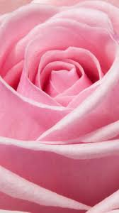 Pink Rose Wallpaper - iPhone, Android ...