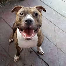 Light Grey Pitbull Pitbull Boxer Mix 3 Reasons To Avoid Doggypedia