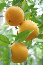 Dwarf Citrus Trees For The Small Garden  Vegetable GardenerSmall Orange Fruit On Tree