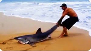 cute baby great white shark. Beautiful Cute Great White Shark Rescue On The Beach In Cute Baby Y