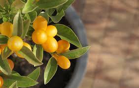 Oasis Plant Nursery  Plant Nursery Brisbane  Natives Exotics Small Orange Fruit On Tree
