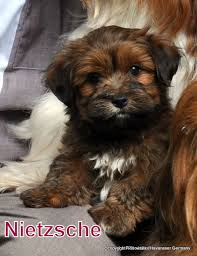 Small Picture 70 best Havanese images on Pinterest Havanese puppies Photos