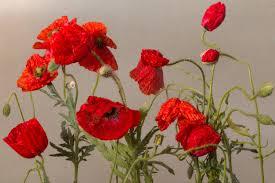 Free Images Petal Rose Flora Klatschmohn Poppy Flower Red