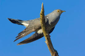 robert lynd s essay on the pleasures of ignorance cuckoo