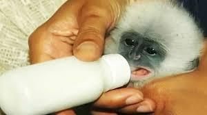 Tafsir Mimpi Merwat Anak Monyet