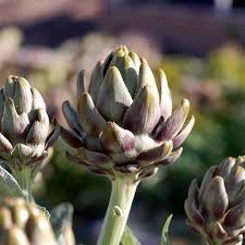 mountain valley seed company artichoke garden seeds green globe variety 1 lb bulk vegetable gardening