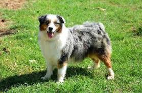 Mott Ranch Australian Shepherd Puppies