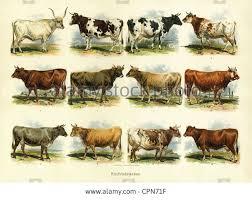 Cattle Chart Cattle Breeds Chart Images Cattle Livestock Farming Farm