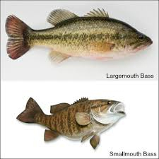Bass Species Chart A Tale Of Two Basses Large And Smallmouth Georgian Bay