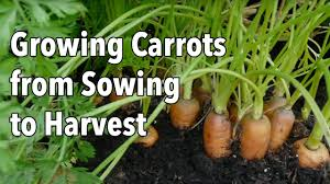 Kitchen Gardening For Beginners Planting A Vegetable Garden For Beginners How When And Where