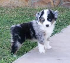 baby mini australian shepherd. Baby Mini Aussie Intended Australian Shepherd Pinterest