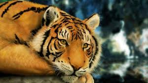 tiger wallpaper desktop. Simple Desktop 1600x900 Tiger Wallpapers  HD Desktop Wallapers High  Definition  And Wallpaper W