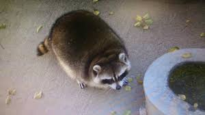 Raccoons In Vending Machine Cool Yamanashi Zoo's Rolypoly Resident Raccoon Is Ridiculously Round