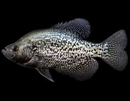 Crappie Length To Weight Chart Black Crappie Mdc Discover Nature