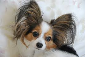 Papillon Growth Chart Best Dog Food For Papillons The Complete 2019 Guide Petdt