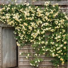 Easy Way To Train Twining Vine Plants On Walls Fences And Flat Wall Climbing Plants Australia
