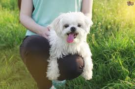 maltese dog. if maltese dog