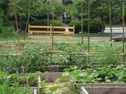 picture of bamboo tomato trellis