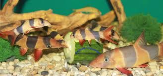 details about ber aquarium vegetable holder for bottom feeders plecos loaches etc