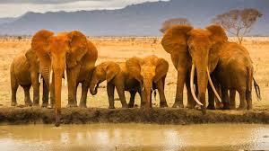 african animals wallpaper high resolution.  Resolution The Fight For Ivory With African Animals Wallpaper High Resolution H
