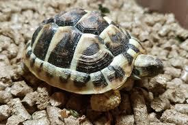 Identifying Mediterranean Tortoise Species